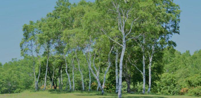 ほたか牧場キャンプ場の白樺